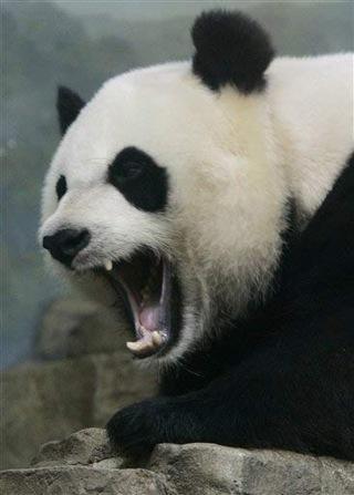 scary-panda